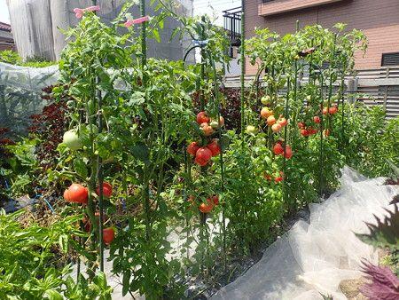 トマトの育て方 植え付けと支柱 暇人主婦の家庭菜園 家庭菜園