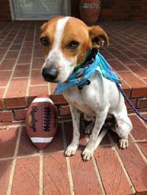 Berkeley Heights Nj Feist Meet Biscuit A Dog For Adoption Treeing Walker Coonhound Pets Dog Adoption
