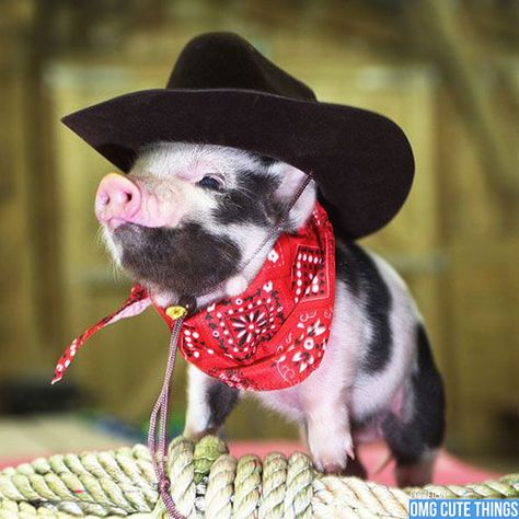I'm A Cowboy Baby i think i just died and went to piggy heaven So Cute Baby, Cute Babies, Too Cute, Cute Baby Pigs, Cute Animal Photos, Cute Pictures, Funny Pig Pictures, Animals Photos, Cute Baby Animals