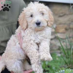 Gunner F1b Labradoodle Puppy For Sale In Ohio Labradoodle Puppy Labradoodle Puppies For Sale