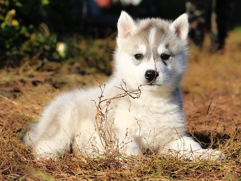 Klod Is The Most Active Pup From This Siberian Husky Litter
