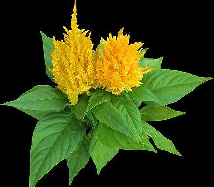 Celosia In 2020 Celosia Plant Plants Indoor Flowering Plants