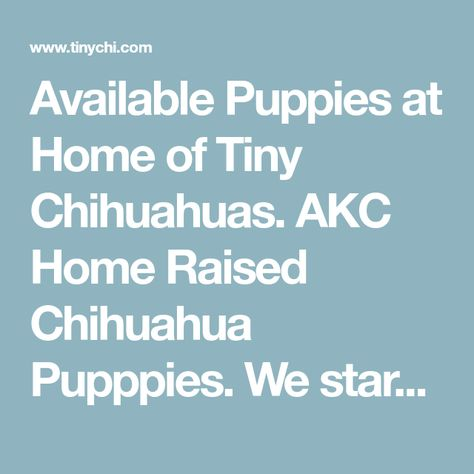 Available Puppies at Home of Tiny Chihuahuas. AKC Home Raised Chihuahua Pupppies. We start the socialization and potty training process. All puppies come with a 1 year health guarantee. All parents have Champion Bloodlines. Florida Breeder,