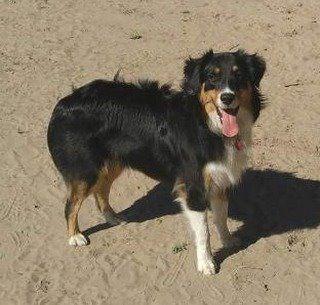 Lost Dog Floodwood Australian Shepherd Border Collie Mix Male