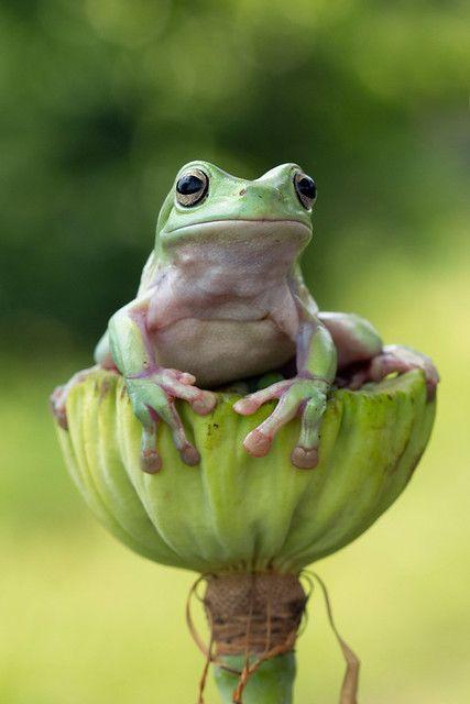 Dumpy sad | Kurito afsheen | Flickr Les Reptiles, Cute Reptiles, Reptiles And Amphibians, Green Tree Frog, Green Trees, Baby Animals, Funny Animals, Cute Animals, Wild Animals