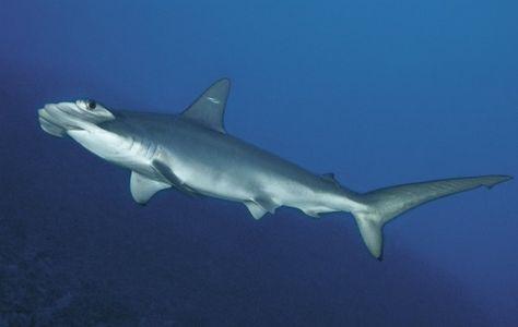 New Hammerhead Shark Species Found Off South Carolina