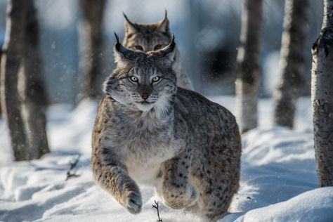 Lynx from Langedrag nature park by Svein Reberg on 500px
