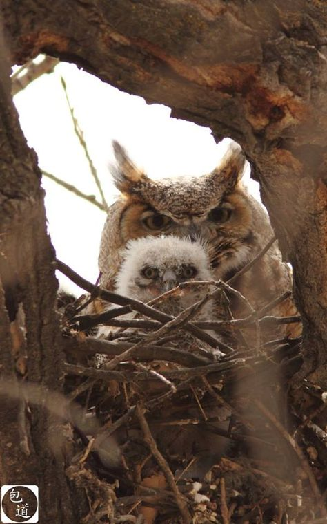 Great Horned Owls at home