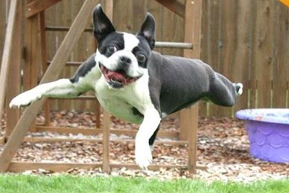 Funny Dogs Compilation Videos Ripley The Dog Boston Terrier Funny Funny Boston Terrier Videos Funny Dog Fails
