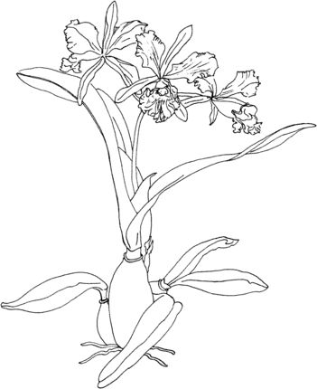 Cattleya Maxima Or Christmas Orchid Coloring Page Flower Drawing Coloring Pages Orchids