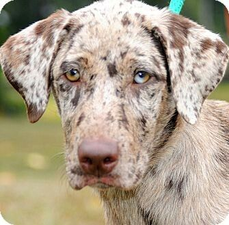 Australian Shepherd Great Dane Mix Great Dane Mix Hybrid Dogs