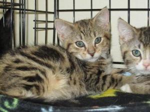 Adopt Charlie Stella On Adoption Pets Cats