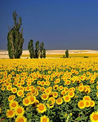 sunflower fields always remind me of summer in Tuscany .