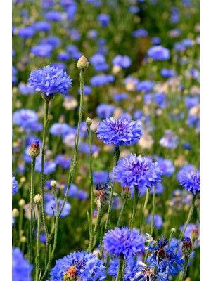 Bachelor S Buttons Florist Blue Boy In 2020 Button Flowers Bachelor Button Flowers Bachelor Buttons