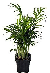 How To Grow And Care For Madagascar Dragon Tree Dracaena Marginata One Of The Harst Houseplants With Red Spiky Leaves A Pop Color