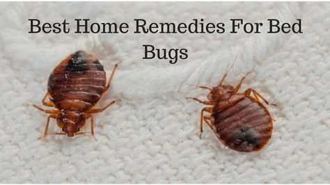 Best Home Remedies For Bed Bugs Termite Control Best Pest