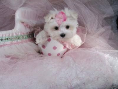 Absolutely Adorable Maltese Puppy Dog