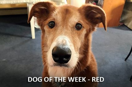 Dear Red Is Our Last Foster For Pet Rescue Before We Headed South He Was A True Gentleman Who Was Beautifully Trained Foster Dog Animal Rescue Pets