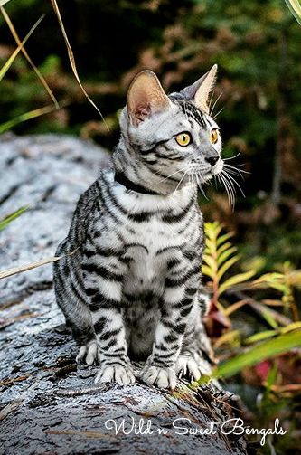 Beautiful Silver Bengal Cat In The Wild More Pictures Of Our