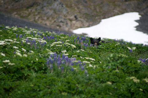 Black Bear - Kenai Fjords National Park
