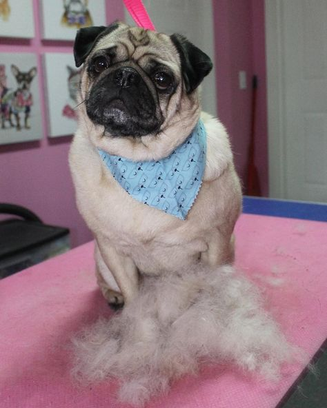 Doug Pug Dog Dogs Doggrooming Doggroomer Petgroomer