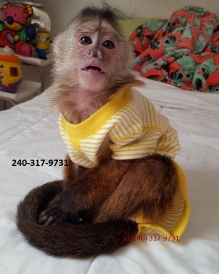 El Classico Capuchin Monkeys For Sale At 0 23 Monkeys In Dayton Oh Monkeys For Sale Capuchin Monkey Capuchin Monkey For Sale