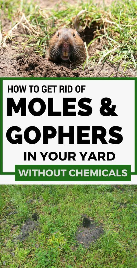 Natural Garden Pest Control Garden Pests Moles In Yard Garden