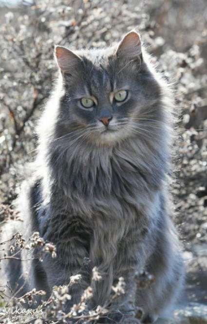 42 Best Ideas Cats Grey Long Hair Grey Tabby Cats Pretty Cats Grey Cats