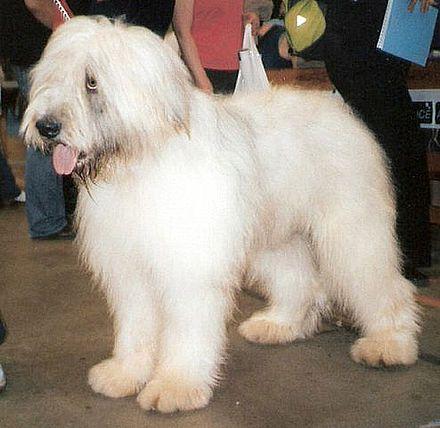 Romanian Mioritic Shepherd Dog Wikipedia Animals Dog