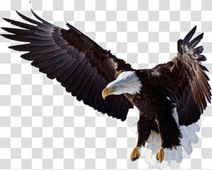 Bald Eagle Bird Of Prey Bald Eagle Golden Eagle Logo Kepala Rajawali Transparent Background Png Clipart Golden Eagle Art Bald Eagle Art Eagle Painting