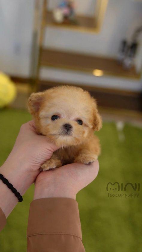 Attractive cream poodle 'ZELLY'