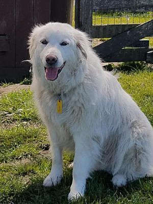 Spring Tx Great Pyrenees Meet Rodeo A Pet For Adoption