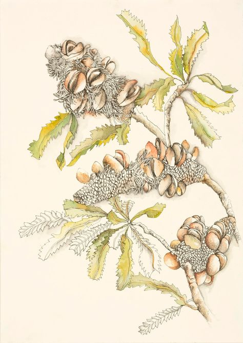 Artist Veronica O'Leary has been painting, drawing, observing and thinking about Banksias for many years. This is her story.
