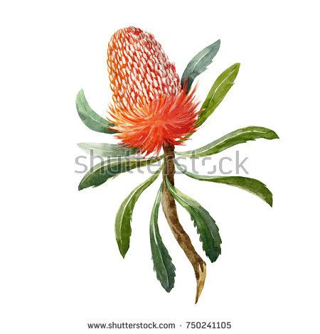 Watercolor Botanical Illustration Of A Banksia Flower On A White Background Australi Watercolor Flowers Paintings Australian Native Flowers Australian Flowers