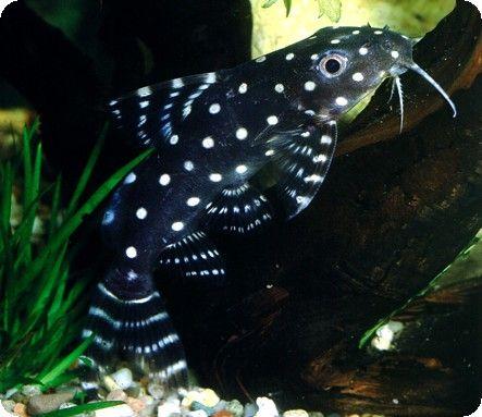 Catfish Synodontis Angelicus 2 3 Inch Beautiful Tropical Fish Aquarium Fish Aquarium Catfish