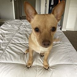 Gainesville Florida Chihuahua Meet Bella A For Adoption
