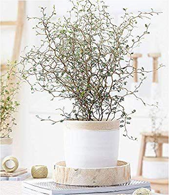 Baldur Garten Maori Sophora Cotoneaster Little Baby 1 Pflanze Zimmerpflanze Schnurbaum Amazon De Garten Dekor Iz Rastenij Posadka Cvetov Domashnie Rasteniya