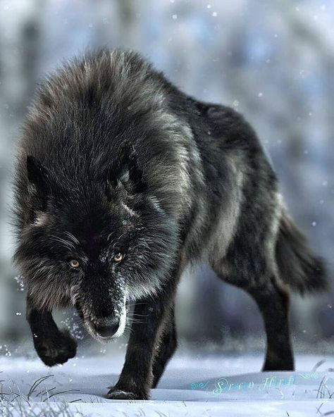 Wolf Images, Wolf Photos, Wolf Pictures, Beautiful Wolves, Beautiful Dogs, Animals Beautiful, Wolf Love, Animal Original, Tier Wolf