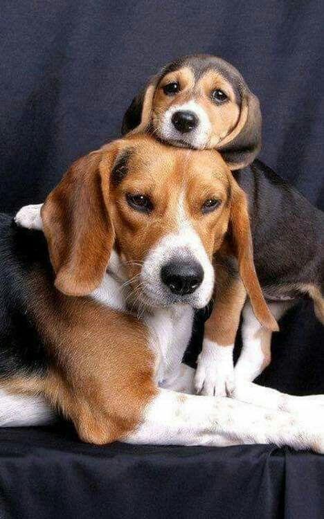 Looks Like My Granddog Dog Breeds Beagle Dog Beagle Puppy
