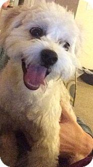 Memphis Tn Maltese Poodle Miniature Mix Meet Lloyd A Dog For