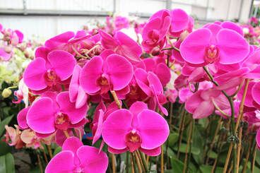 53a6d8bac14b0816c84f9122aa6735c3 - How To Get An Orchid To Bloom A Second Time