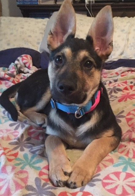 German Shepherd Dog Dog For Adoption In Kansas City Mo Adn