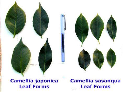 Camellia Camellia Plant Leaves Plants