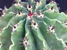 Giromagi Cactus Vendita Piante Grasse Online Suculentas De A A