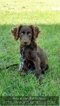 2 Year Old Boykin Spaniel 50 00 To A Good Home Valdosta 50 In 2020 Boykin Spaniel Pretty Dogs Spaniel