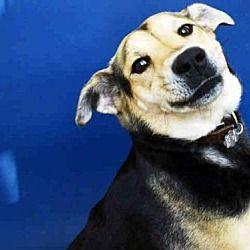 St Louis Missouri German Shepherd Dog Meet Paige A For