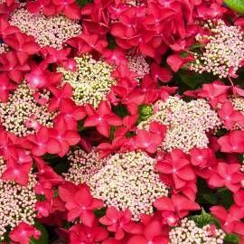 Hortensja Ogrodowa Rotschwanz Hydrangea Macrophylla Albamar Hydrangea Macrophylla Hydrangea Garden Hydrangea Potted