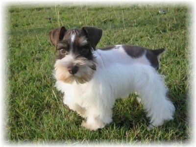 Diamond Kennel Pure Black Silver Mini Schnauzer With Cert Mini Schnauzer Schnauzer Schnauzer Dogs