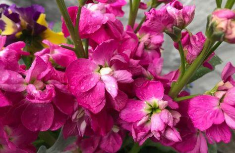 Apricot Evening Stock Matthiola Flower Seeds 50 Reseeding Annual