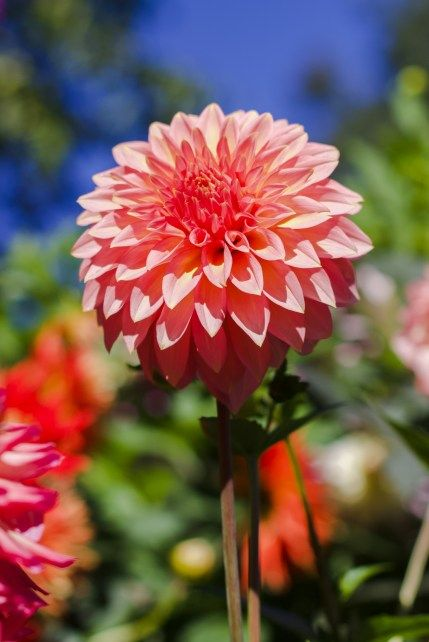 Pink Dahlia Flower In The Sun At The Butchart Gardens In 2020 Butchart Gardens Dahlia Flower Most Beautiful Gardens